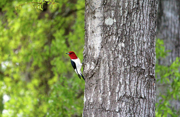 Photograph - Red-headed Woodpecker by Cynthia Guinn