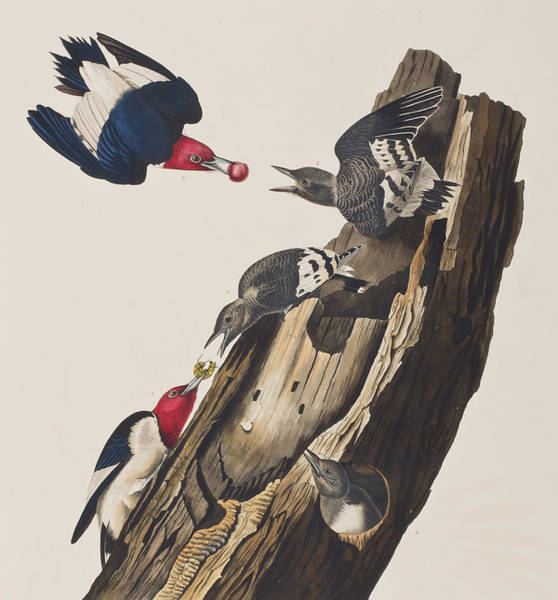 Wall Art - Painting - Red Headed Woodpecker by John James Audubon