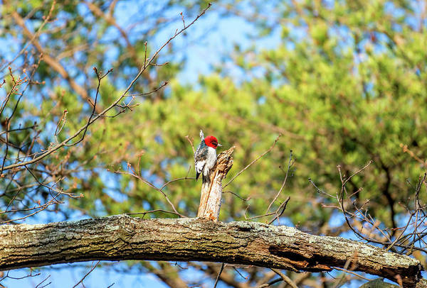 Photograph - Red Headed Woodpecker Searching For Food On An Oak Tree On A Spr by Patrick Wolf