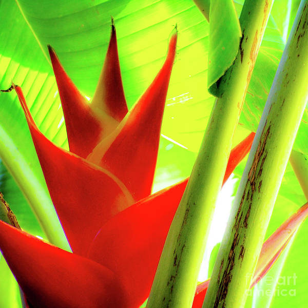Photograph - Red Heliconia Plant by D Davila