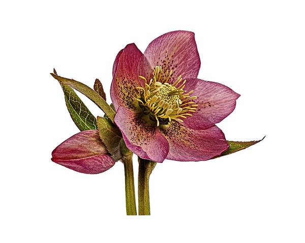 Photograph - Red Hellebore Transparent Background by Paul Gulliver