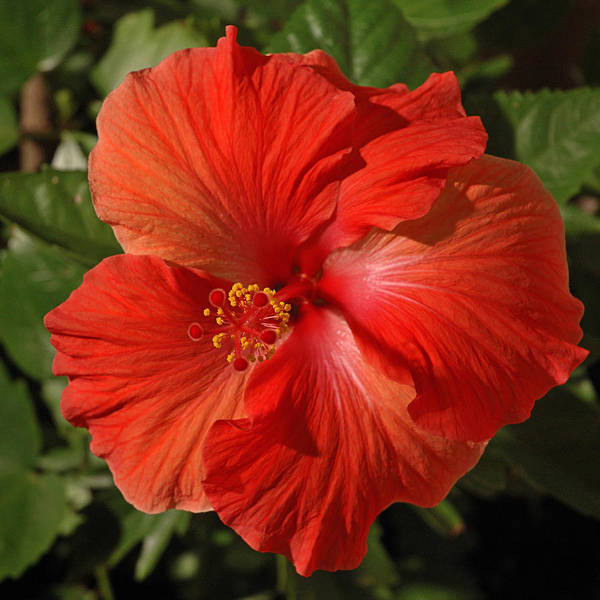 Photograph - Red Hibiscus 1 by Frank Mari