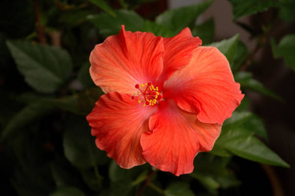 Photograph - Red Hibiscus 2 by Frank Mari