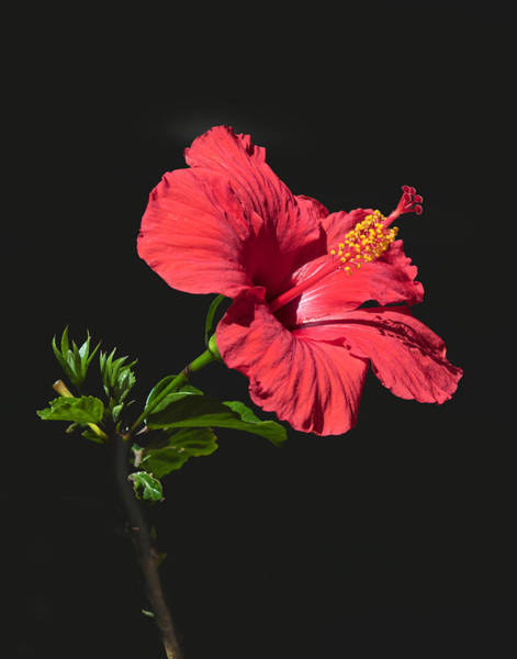 Wall Art - Photograph - Red Hibiscus by Dawn Key