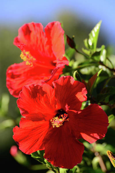 Photograph - Red Hibiscus Duo by Lynn Bauer