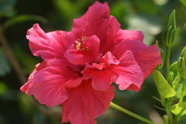 Red Hibiscus Flower 5 Art Print