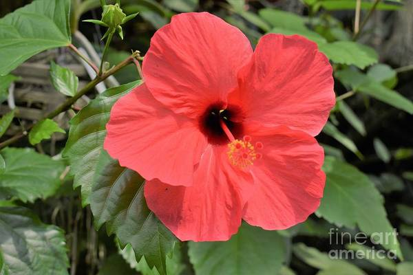 Photograph - Red Hibiscus by James Fannin