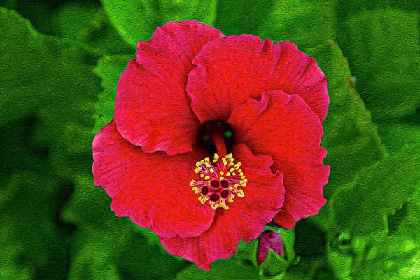Photograph - Red Hibiscus Op12 by Mark Myhaver