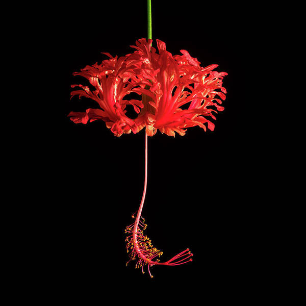 Red Hibiscus Schizopetalus On Black Art Print