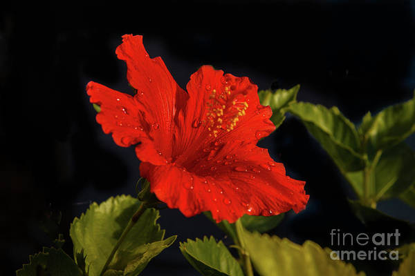 Wall Art - Photograph - Red Hibiscus With Water Drops by Robert Bales
