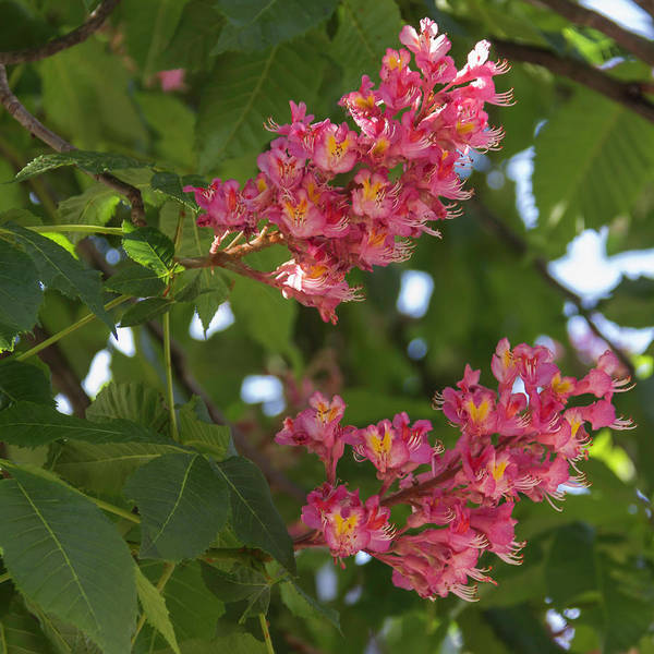 River Ill Wall Art - Photograph - Red Horsechestnut Bloom Squared 01 by Teresa Mucha