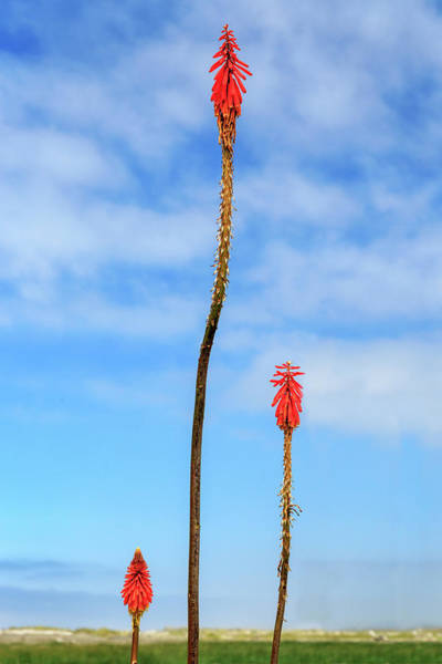 Photograph - Red Hot Pokers by James Eddy