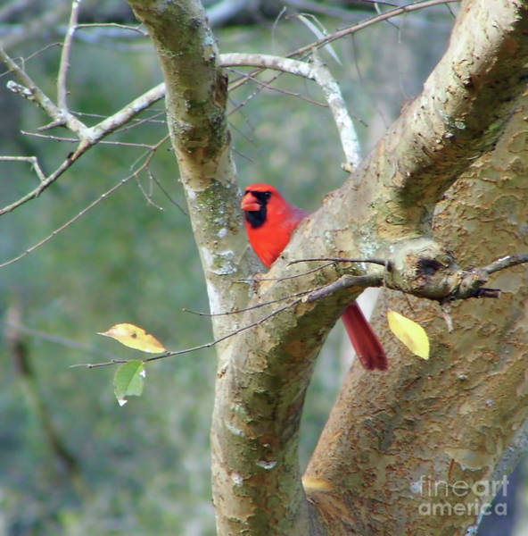 Photograph - Red In The Tree by D Hackett