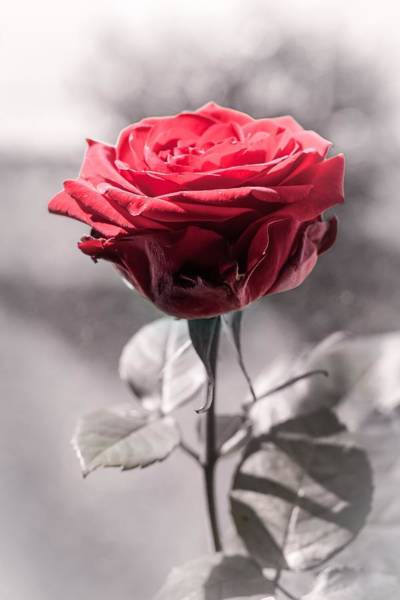 Photograph - Red Is The Rose by Botanical Collection