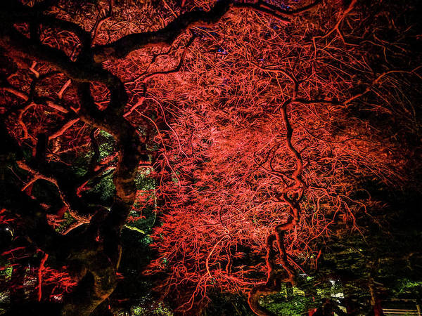 Photograph - Red Japanese Maple At Night by Michael Bessler