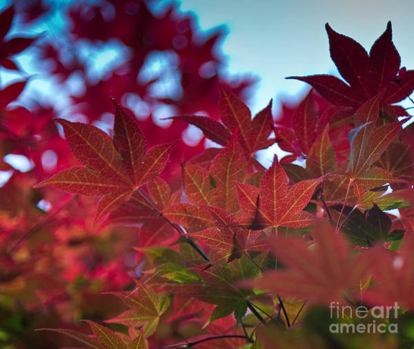 Photograph - Red Japanese Maple by Julia Rigler