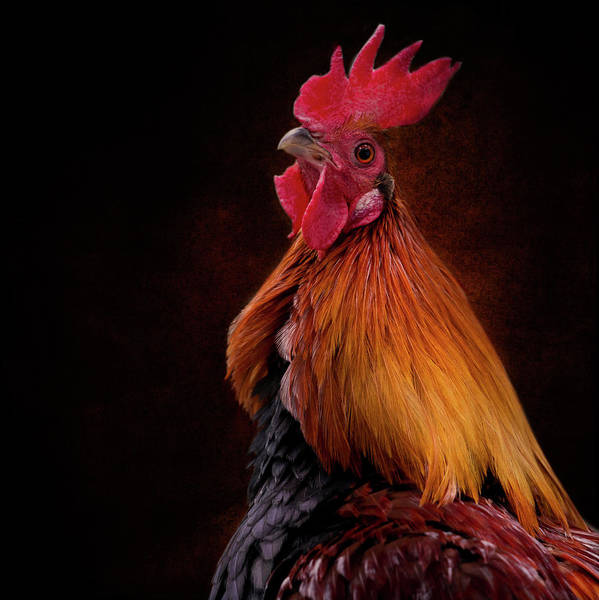 Photograph - Red Jungle Fowl Rooster by Diana Andersen