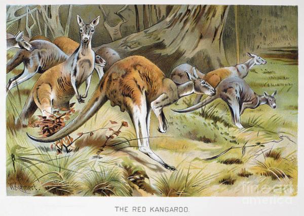 Photograph - Red Kangaroo by Granger