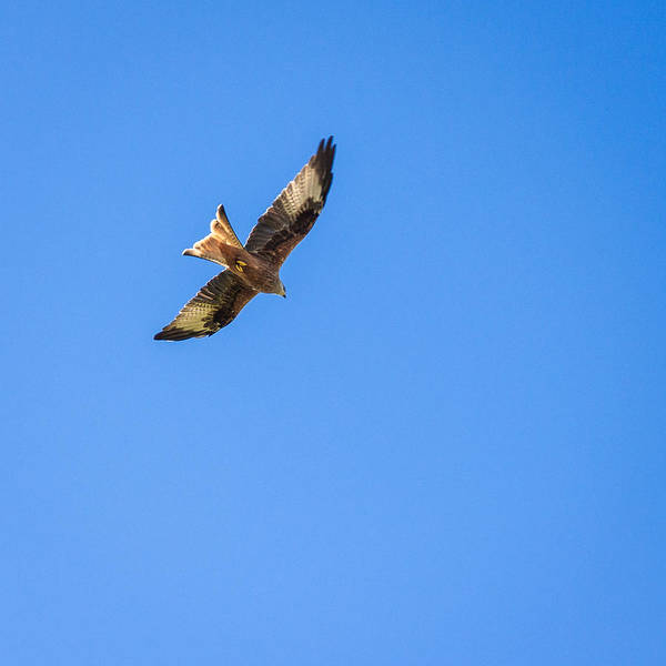 Galloway Wall Art - Photograph - Red Kite by Chris Dale