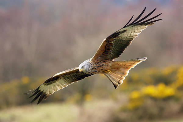 Photograph - Red Kite Flying Over Meadow by Grant Glendinning