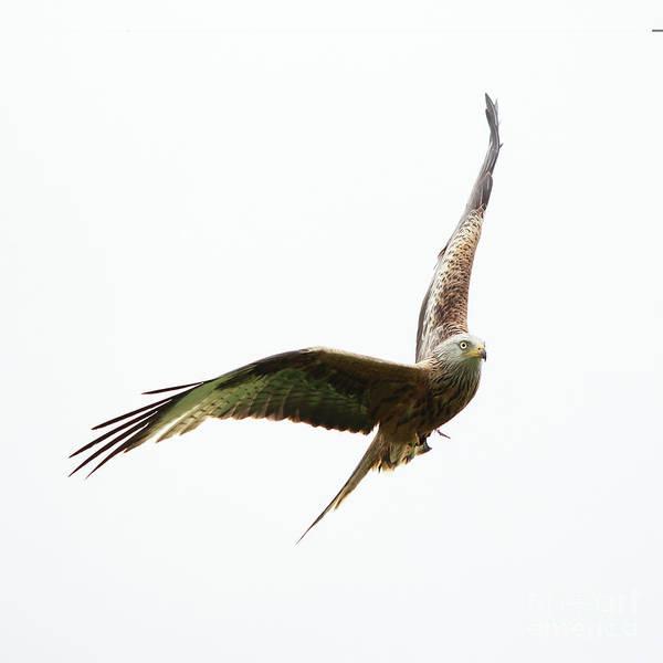 Photograph - Red Kite by Maria Gaellman