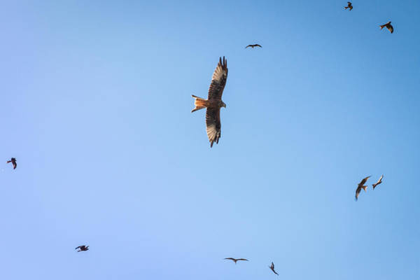 Galloway Wall Art - Photograph - Red Kites by Chris Dale
