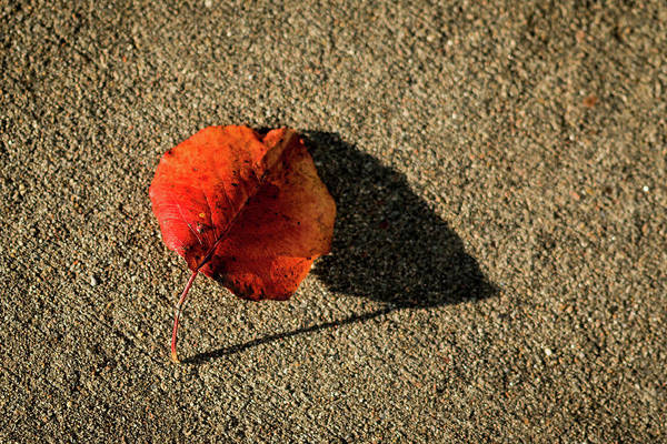 Photograph - Red Leaf And Shadow by Jay Stockhaus