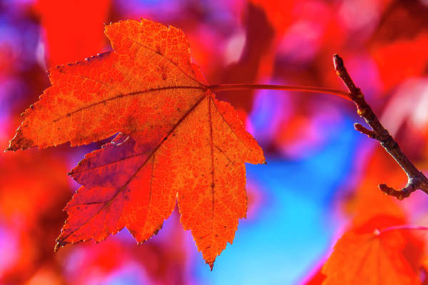 Wall Art - Photograph - Red Leaf Close Up by Garry Gay