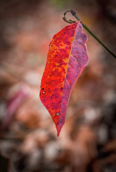 Photograph - Red Leaf by Framing Places
