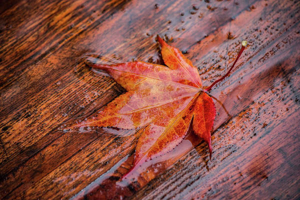 Photograph - Red Leaf In The Rain by Teresa Wilson