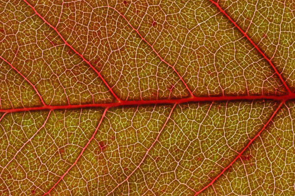 Wall Art - Photograph - Red Leaf Macro by Frank Tschakert