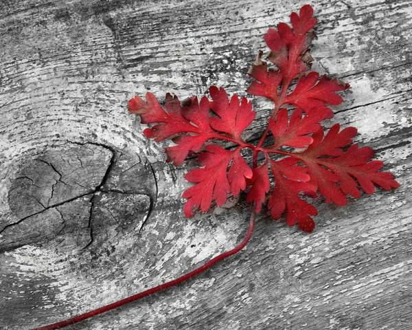 Photograph - Red Leaf On Wood by Patricia Strand