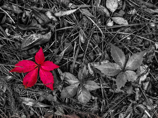 Photograph - Red Leaf by Randy Sylvia