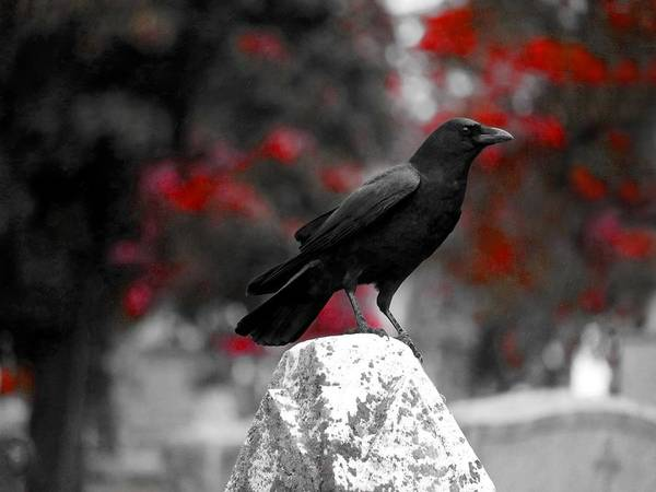Wall Art - Photograph - Red Leaves Behind Gothic Crow by Gothicrow Images
