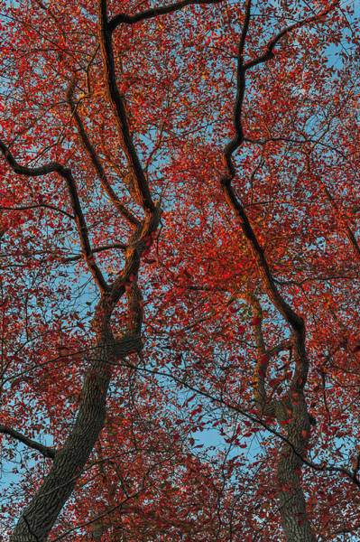 Photograph - Red Leaves Blue Sky Two Trees by Terry DeLuco