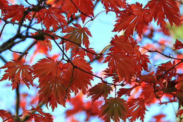 Photograph - Red Leaves by Bonnie Follett