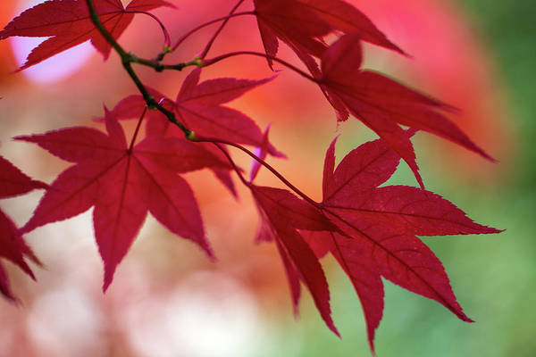 Photograph - Red Leaves by Clare Bambers