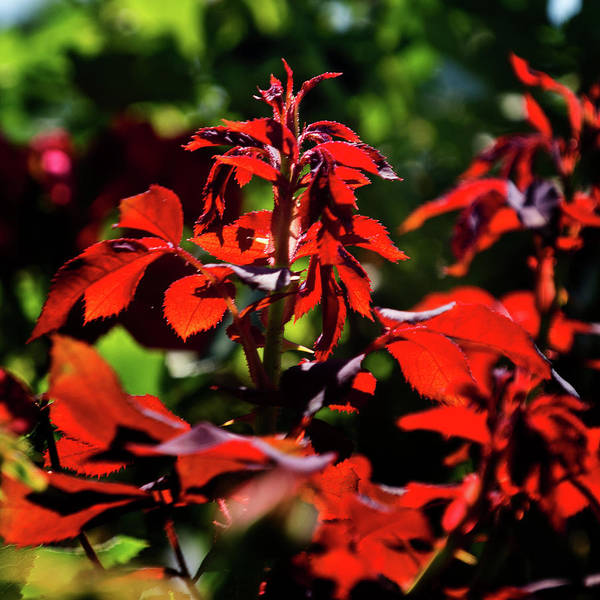 Photograph - Red Leaves by George Taylor