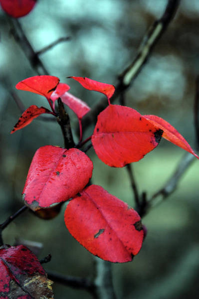 Photograph - Red Leaves In A Gentle Rain 7456 H_2 by Steven Ward