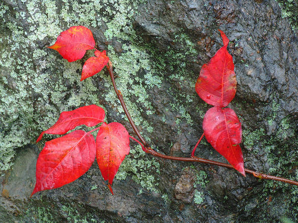 Photograph - Red Leaves by Juergen Roth