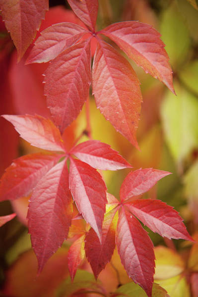 Wild Grape Photograph - Red Leaves Of Wild Grape  by Jenny Rainbow