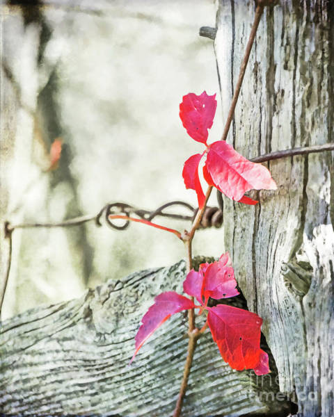 Photograph - Red Leaves On An Old Fence Post by Hal Halli