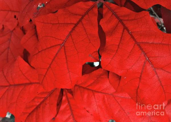 Red Leaves  Art Print by Rachel Hannah