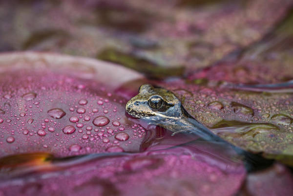 Photograph - Red-legged Frog In The Rain by Robert Potts
