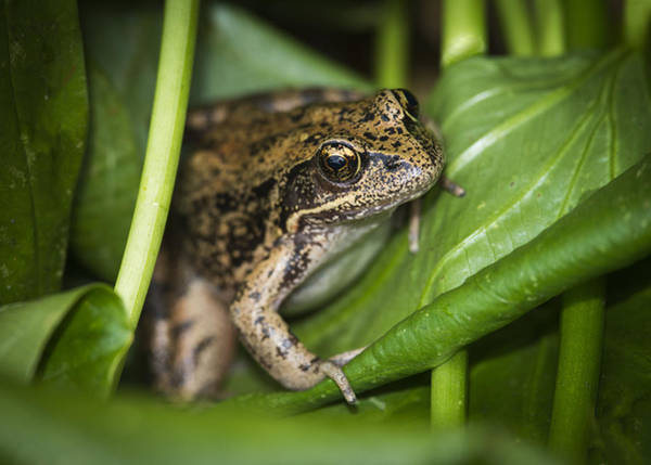 Photograph - Red-legged Frog  On Plant by Robert Potts