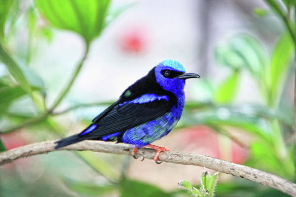 Photograph - Red-legged Honeycreeper - Rdw003938 A Photograph Bt Dean Wittle by Dean Wittle