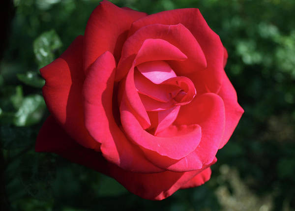 Photograph - Red Let Freedom Ring Hybrid Tea Rose by M Valeriano