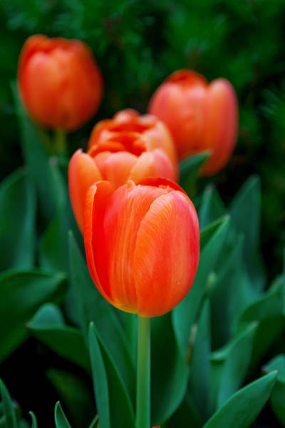 Tulip Flower Photograph - Red Tulips by Az Jackson
