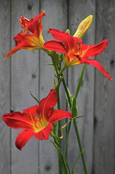 Photograph - Red Lilies by Juergen Roth