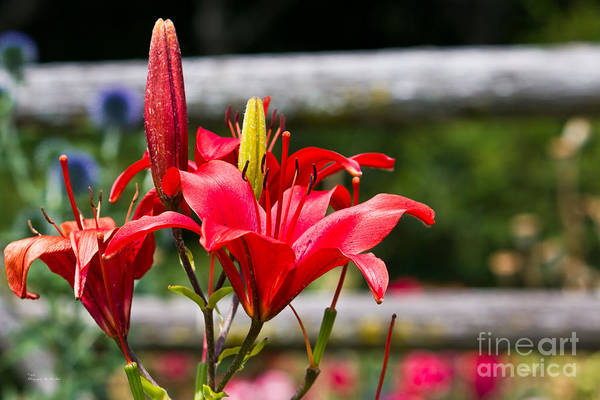 Photograph - Red Lilies by Ms Judi